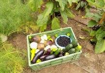 Ernte Bio Gemüsegarten