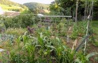 Gemüsegarten Mitte Juni 2020