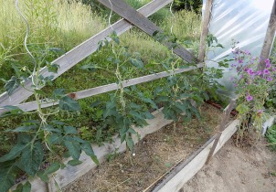 Paradeiser (Tomaten)