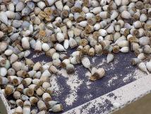 Klatschmohn Kapseln und Samen