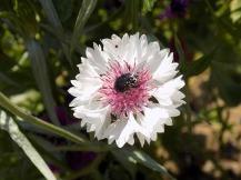 Kornblume weiß mit Käfer