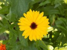 Ringelblume gelb
