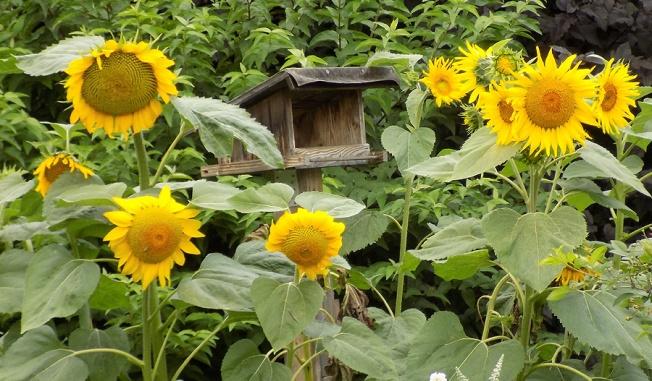 Futterhäuschen mit Sonnenblumen
