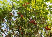 Hetschepetsch (Hagebutten) färben sich rot