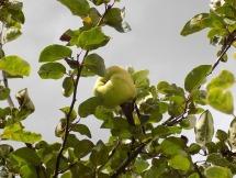 erstmals Früchte am jungen Quitten-Baum