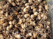 Samenkapsel-Ernte Kornblumen