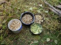 letzte Ernte Kipfler-Bohnen