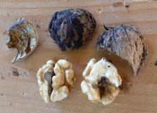 Die Walnuss-Früchte in der Holzschale sind großteils einwandfrei