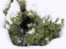 Grünkohl - Wintergemüse