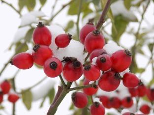 Hagebutte - Winternahrung für Vögel