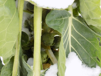 Kohlsprossen - Wintergemüse