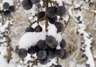 Schwarzdorn - Winternahrung für Vögel