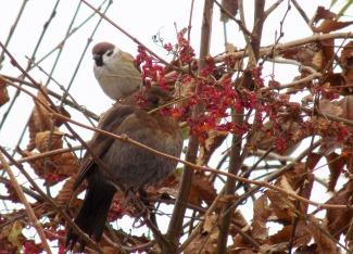 Pfaffenhütchen - Winternahrung für Vögel