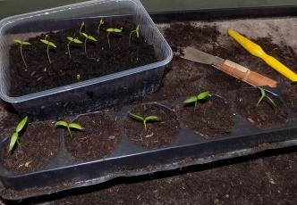 Pikieren von Pfefferoni-Pflanzen